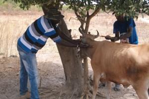 Alianza por la Solidaridad - Tratamiento de ganado Senegal